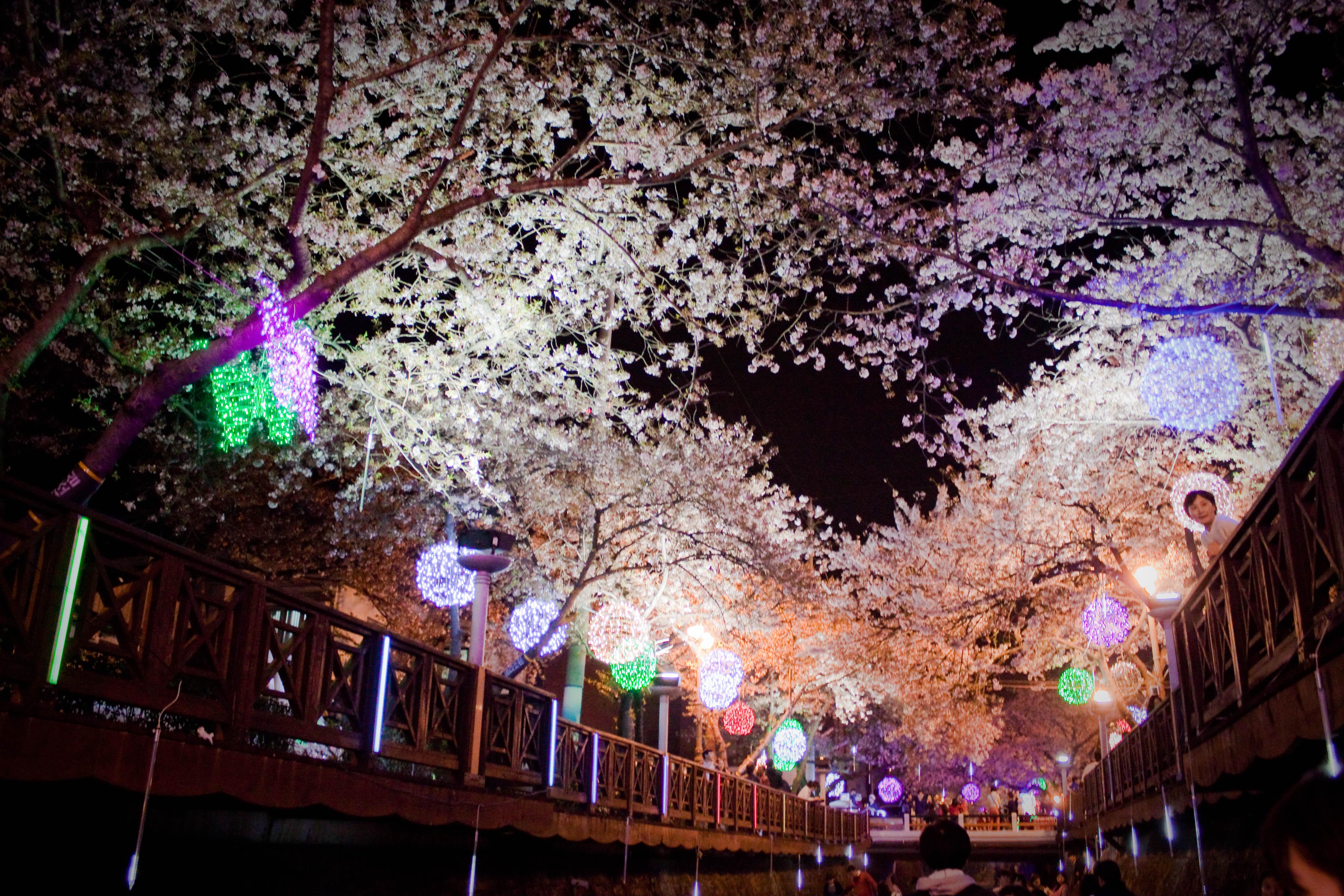 Cherry Blossom Tree at Night Cherry Blossom Tree Blooms